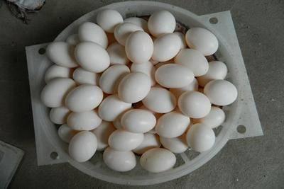 山東省聊城市冠縣白鴿蛋 食用 散裝