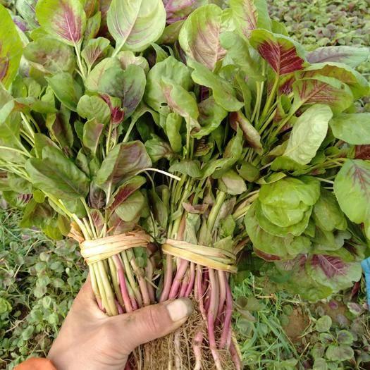湖北省襄陽市襄州區紅莧菜 25-30cm 紫紅