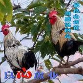 鹊山鸡苗品种正宗出厂疫苗到位