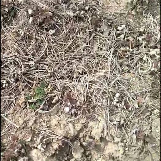 辽宁省丹东市凤城市白头翁种苗