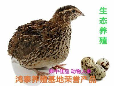 安徽省六安市裕安區土鵪鶉蛋 食用 箱裝