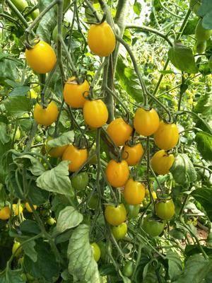 遼寧省朝陽市朝陽縣金蜜佳小番茄