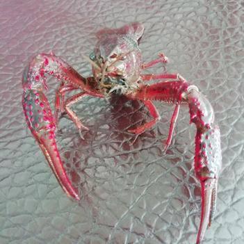 红壳小龙虾 硬4.0-6.0钱 人工养殖 活力好  基地直供 餐饮精选
