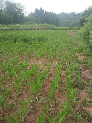四川省成都市簡陽市血橙苗 嫁接苗 0.5米以下