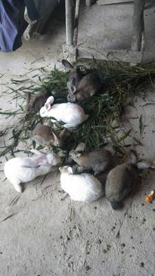 云南省紅河哈尼族彝族自治州綠春縣野兔