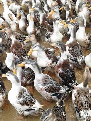 廣西壯族自治區貴港市桂平市麻鴨 4-5斤 母 全圈養