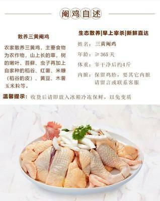 廣東省佛山市南海區雞肉類 農家散養閹雞新鮮現殺重3~6斤
