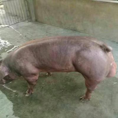 江蘇省連云港市灌云縣杜洛克豬 160-200斤