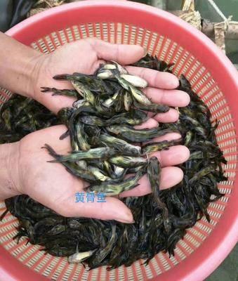 廣西壯族自治區賀州市八步區黃骨魚苗