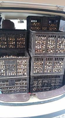 河南省南陽市方城縣黃羽鵪鶉蛋 食用 箱裝