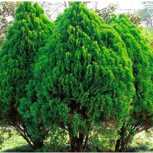 广西壮族自治区钦州市灵山县圆枝侧柏 四季常青富贵树种,树型优美。