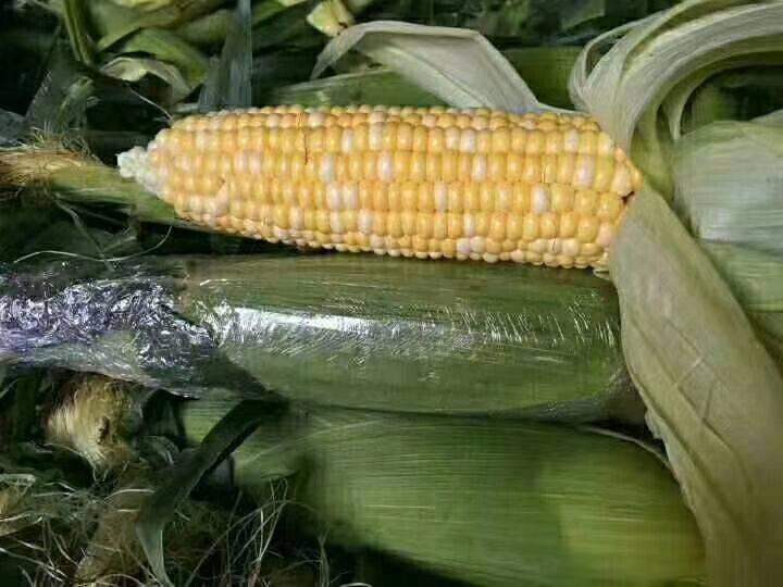水果玉米 云南新鲜  全年供货  现摘现发  专业一件代发5斤9斤装