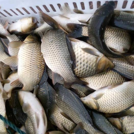 重慶市銅梁區 鯽魚湘云鯽,良種鯽魚,品質好,成活率高