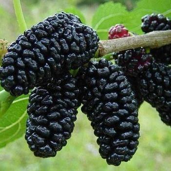 四季大果桑苗 可盆栽或地栽,當年種植當年或次結果,果大味甜食用防白發早生。