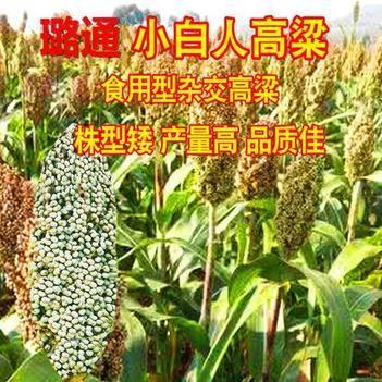 小白人高粱種子 食用白高粱小白人種子