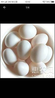 湖北省隨州市隨縣美國王鴿蛋 食用 散裝