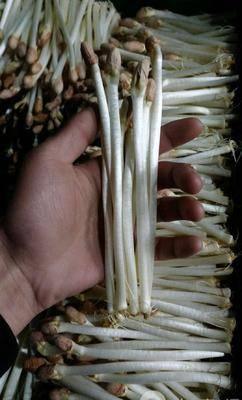 湖北省荊州市石首市花生芽 人工種植 15-20cm