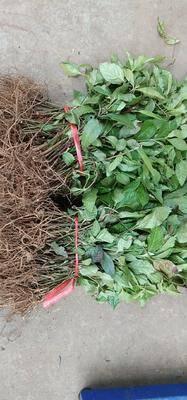 廣西壯族自治區來賓市金秀瑤族自治縣草珊瑚種子