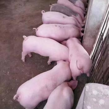 大量批發豬苗