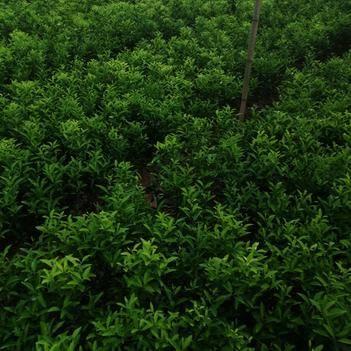 紅橘苗 0.2~0.35米 實生苗
