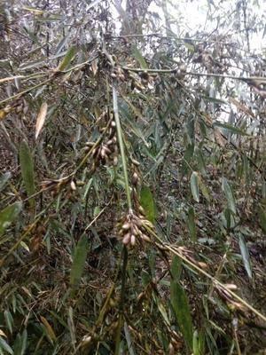 四川省樂山市峨邊彝族自治縣三月筍竹子種子
