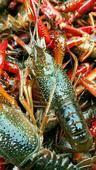 紅殼小龍蝦 監利品質蝦,中紅456底板干凈,基地直供