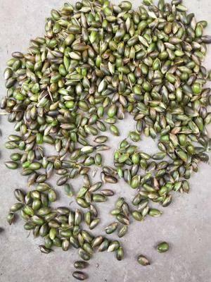 四川省樂山市峨邊彝族自治縣毛竹種子 三月筍子竹子種子