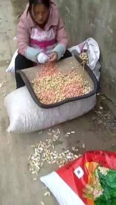 河南省商丘市寧陵縣花生芽 人工種植 5-10cm