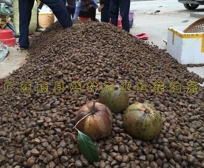 廣西壯族自治區梧州市藤縣紅茶種子 廣西紅花種子 紅花大果油茶籽
