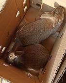 比利時雜交野兔重量一斤左右20只+ 每只22.88元