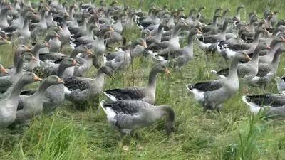 黑龍江省哈爾濱市阿城區大雁肉 仿野生環境長成,純綠色天然
