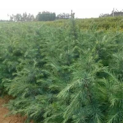 山東省臨沂市郯城縣 雪松種子 印度雪松樹種子 雪松籽 寶塔松 綠化樹種林木種子