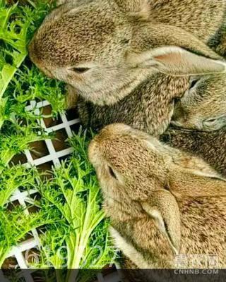 雜交野兔 1.1
