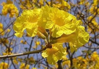 江蘇省蘇州市吳中區黃花風鈴木種子 紅花風鈴木種子  提供種植技術