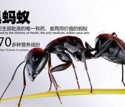 廣東省河源市和平縣 天然野生黑螞蟻