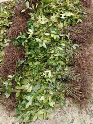 廣西壯族自治區來賓市金秀瑤族自治縣草珊瑚種子 草珊瑚苗