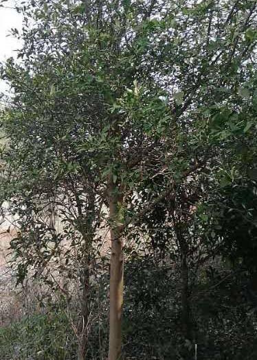 江苏省无锡市滨湖区 香橼树8910公分出售