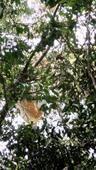 西雙版納野生排蜂蜂蜜