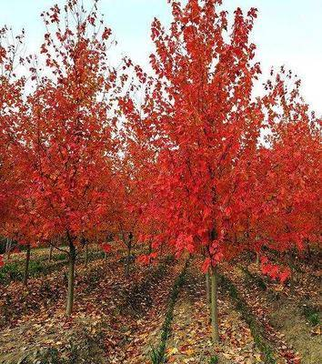 江蘇省蘇州市吳中區楓樹種子 美國紅楓種子 發芽率高