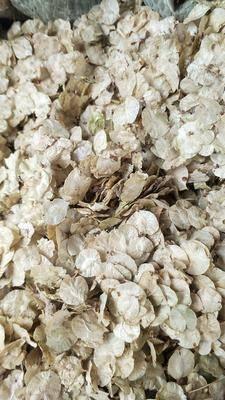 河北省保定市安國市白榆種子 批發優質純新榆樹籽