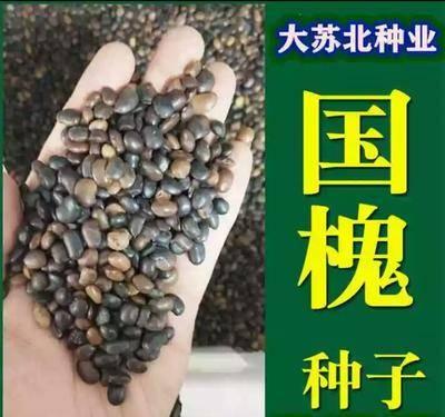 江蘇省徐州市新沂市國槐種子