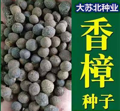 江蘇省徐州市新沂市香樟種子