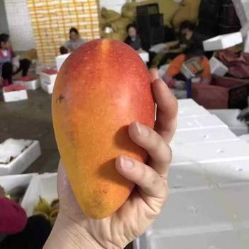 貴妃芒果海南貴妃芒果紅金龍新鮮水果 九斤裝 發貨快