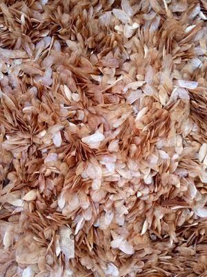 湖北省十堰市鄖陽區香椿種子 常年經營香椿籽種子.......16607285666