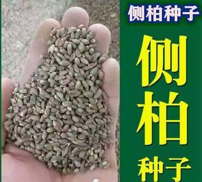 江蘇省徐州市新沂市側柏種子