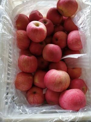 山東省淄博市沂源縣 山東沂源紅富士蘋果大量供應