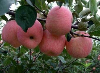 河北省石家莊市正定縣 河北省石家莊市正定縣蘋果合作社大量批發蘋果