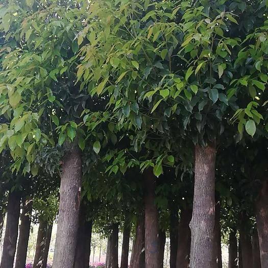云南省昆明市宜良縣 香樟米徑十五公分,數量多,歡迎下單,袋裝苗