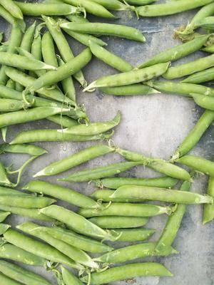 河南省南陽市社旗縣 大量豌豆出售
