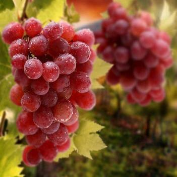 红宝石葡萄苗 晚熟品种 无核 果皮薄 果肉脆味甜爽口